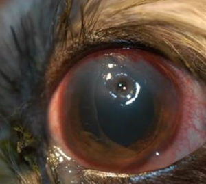 Eye Ulcer Treatment In Dogs