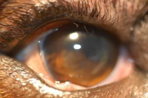 sharp abnormal eyelashes in dogs, distichia, in dogs