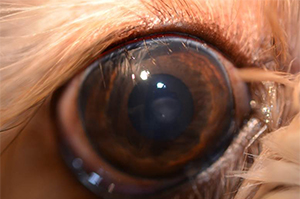 abnormal eyelashes in dogs, distichia, in dogs