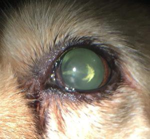 cataract-canine animal eye clinic