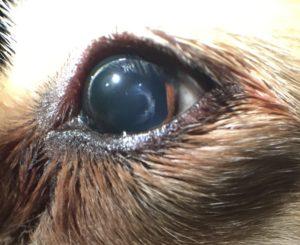 cataract-canine-1c animal eye clinic