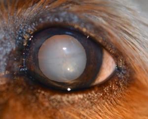 cataract-canine-2-animal-eye-clinic