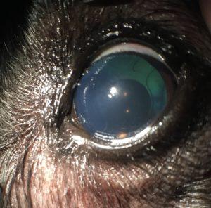 cataract canine example 5b at animal eye clinic