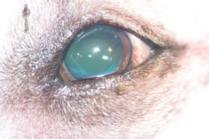 caratact canine example 5 animal eye clinic