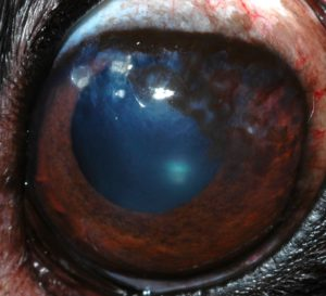 chronic-superficial-keratitis-canine-after-therapy