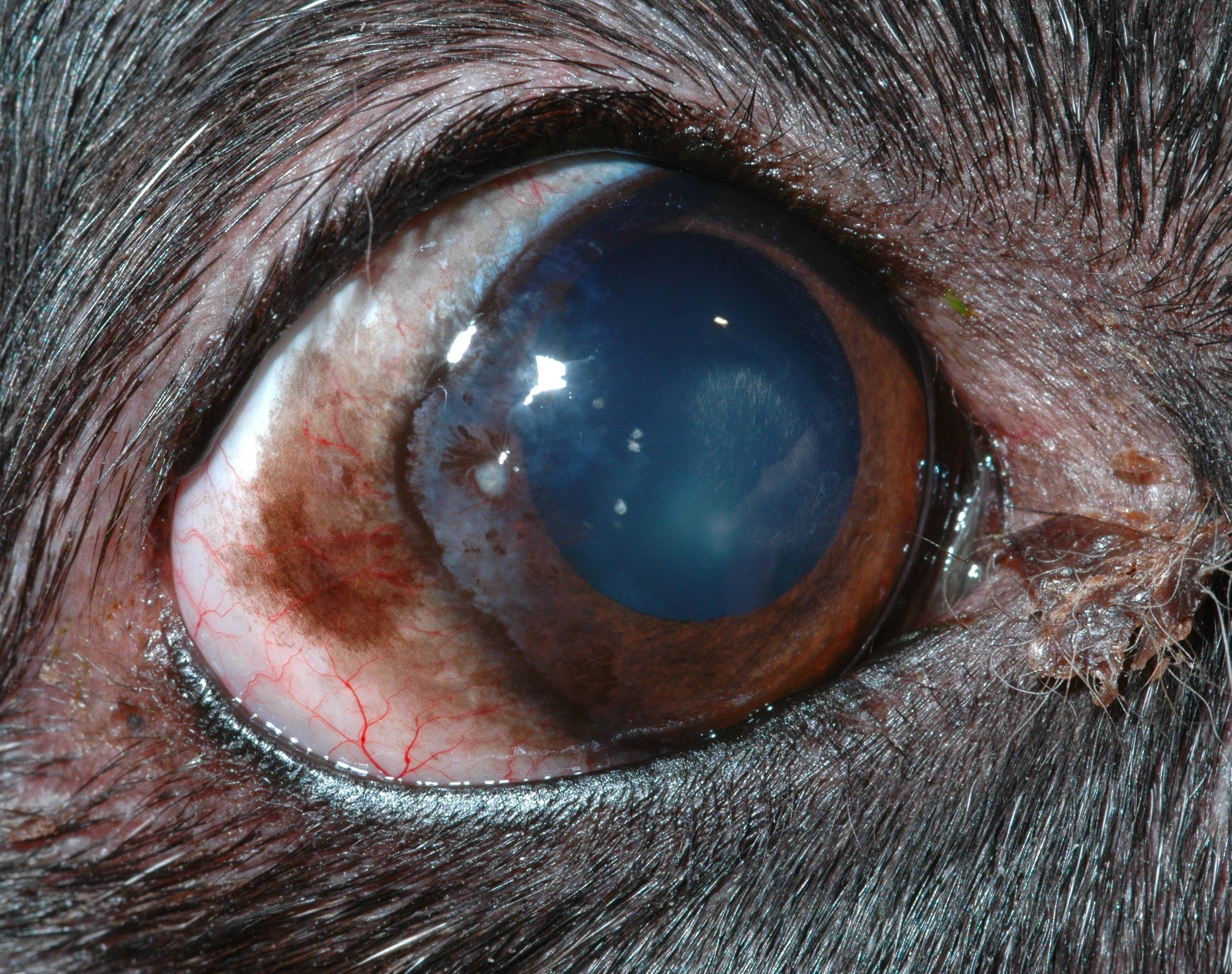 Chronic Superficial Keratitis Csk Canine Animal Eye Clinic