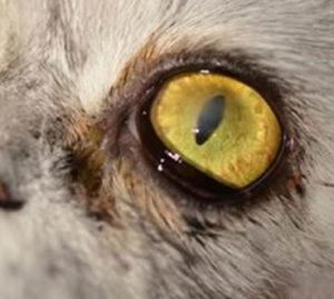 corneal surgery in cat, corneal transplant in cat, eye surgery in cat, Corneal Ulers in Dogs and Cats