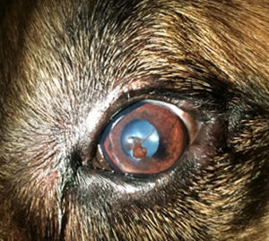 corneal transplant in dog, conjunctival graft in dog, corneal surgery in dog, eye surgery in dog, Corneal Ulers in Dogs and Cats