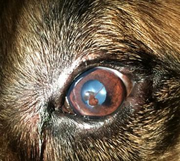 Dog Eye Drops For Corneal Ulcers