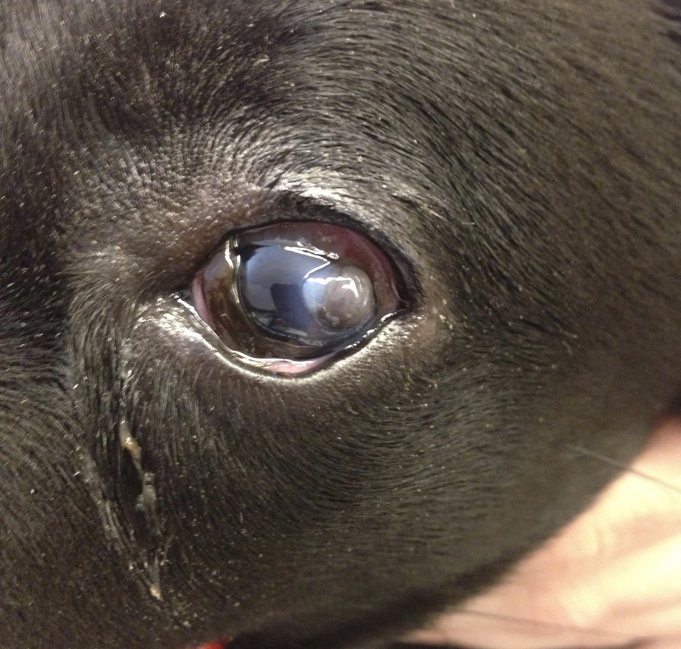 Human Eye Drops For Dogs Conjunctivitis