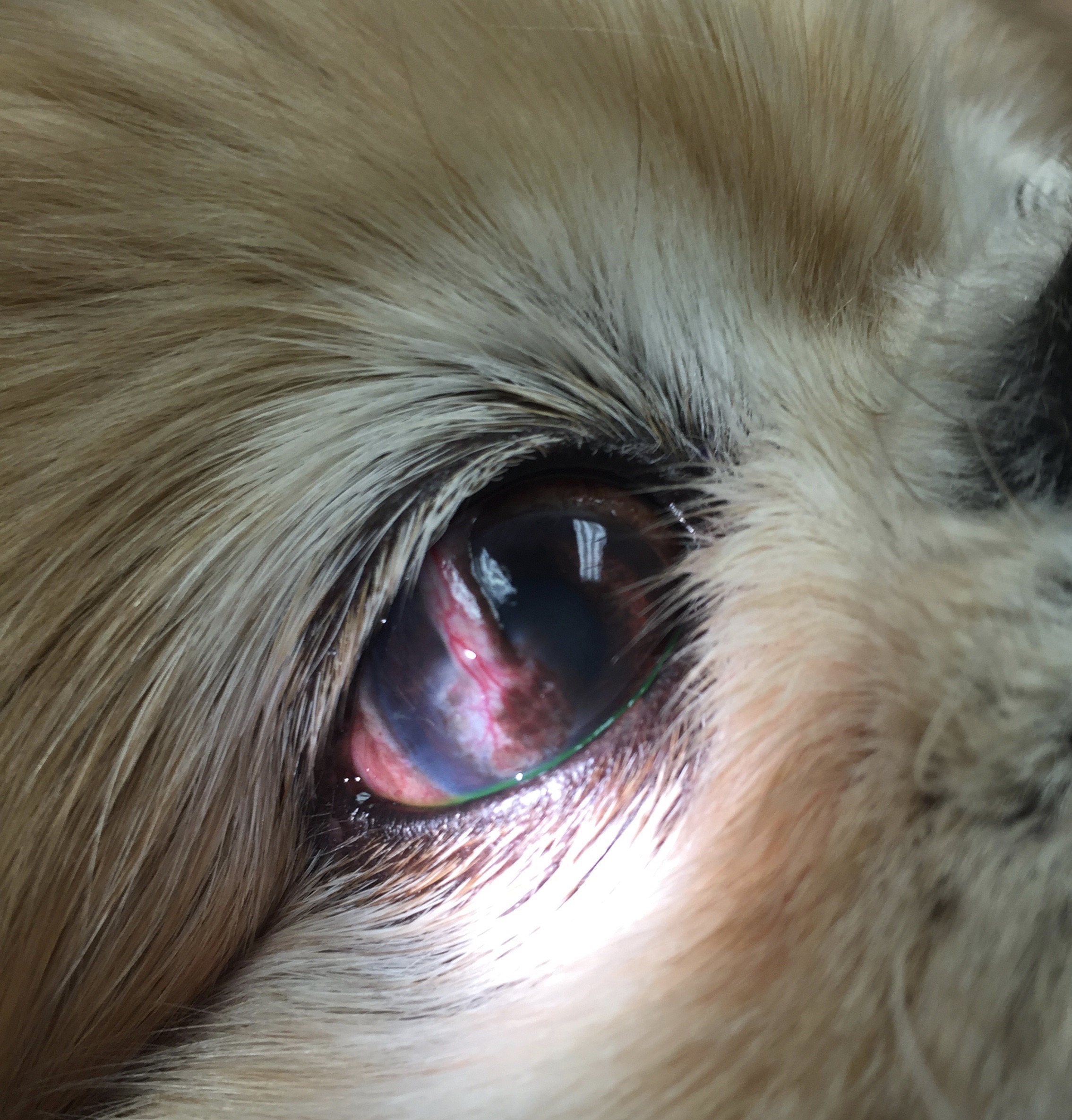 How To Treat Eye Ulcers In Dogs