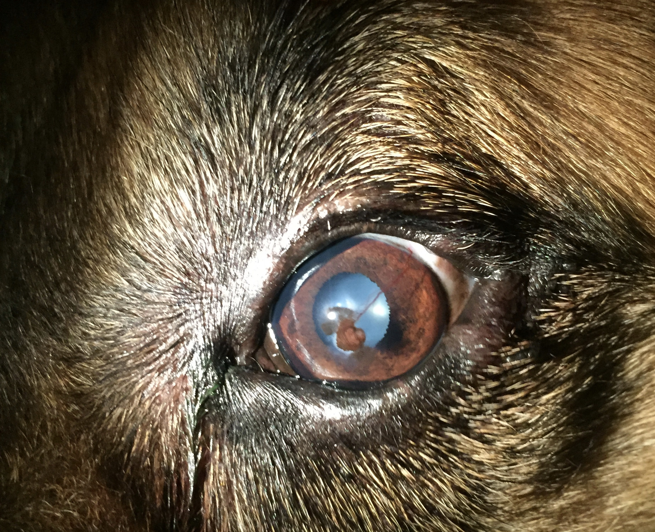 How To Treat Dog Eye Ulcer