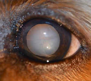 immature dog cataract, dense dog cataract