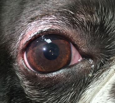 Dogs Eye After Cataract Surgery In
