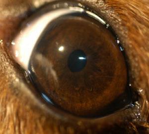 dog dry eye disease treatment, dog KCS treatment