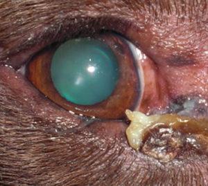 dry eye disease in dog, dog dry eye disease, canine dry eye disease (KCS)