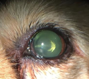 Early Stage Dog Cataract Incipient