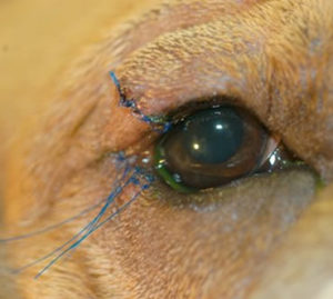 entropion (eyelid rolling, eyelid inversion) in dogs treatment