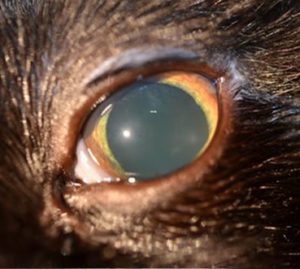 cat with uveitis, eye inflammation, eye problems in cats