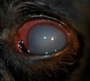 glaucoma in dogs