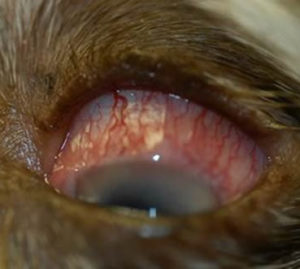 dog eye redness, glaucoma in dogs