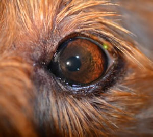glaucoma treatment in dogs, after glaucoma treatment in dogs