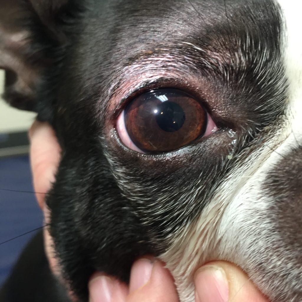 Post-op-cataract-dog-animal-eye-clinic
