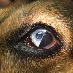 uveal-melanoma-canine