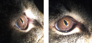 Uveal Melanoma Feline Animal Eye Clinic