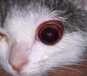 globe proptosis feline in cats
