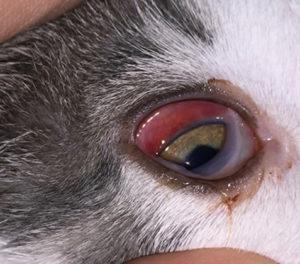globe-proptosis-feline-in-cats-aec-2