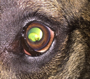 iris-cysts-canine-in-dogs-aec