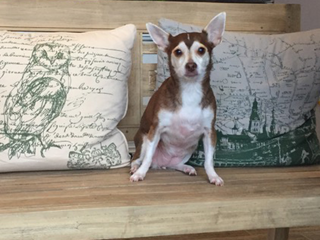 Stella, a chihuahua, after cataract remova